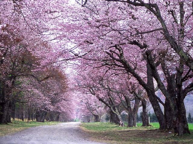 洞爺・登別・日高近郊エリア二十間道路桜並木